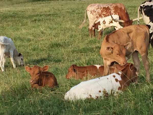 Calves relaxing on the ranch.